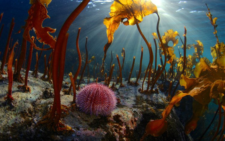 light, nature, rays, sea, the bottom, under water, algae, the barents sea, echinus, sea urchin