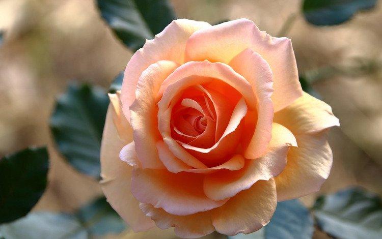 light, leaves, flower, rose, pink, orange