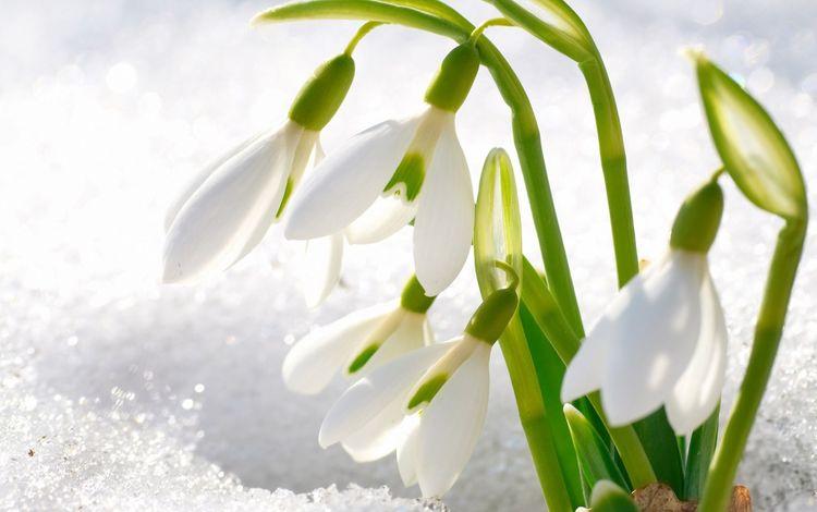 весна, первые, подснежники, spring, first, snowdrops