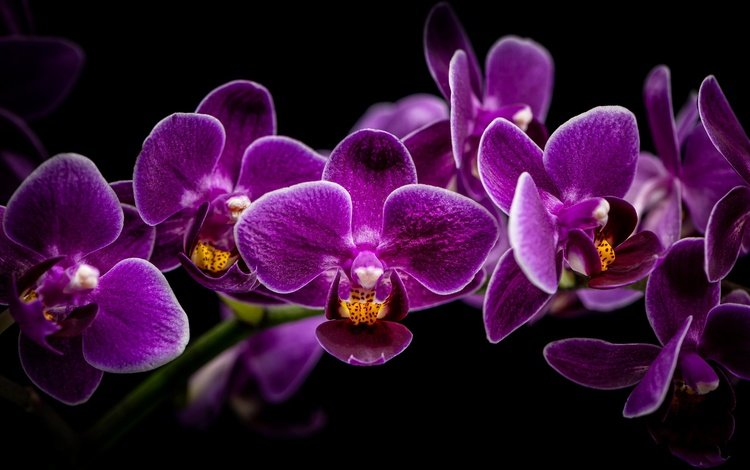 branch, black background, orchid, orchids, lilac