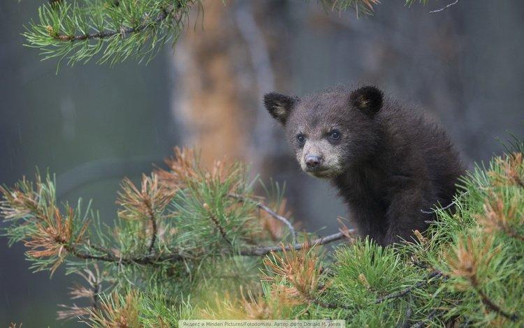 медвежонок, bear