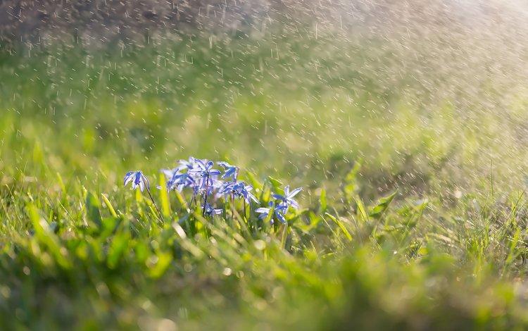 flowers, grass, squirt, spring, scilla, scylla
