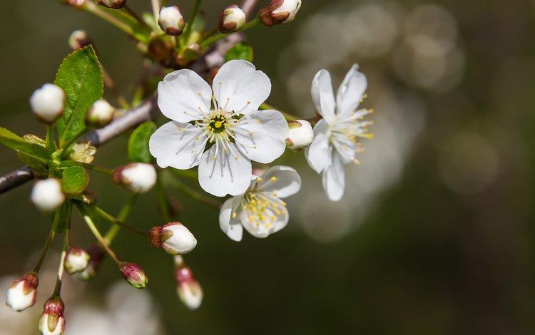 flowers, nature, flowering, macro, spring, cherry, bokeh