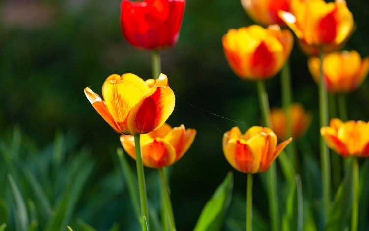 flowers, nature, spring, tulips, yellow-red