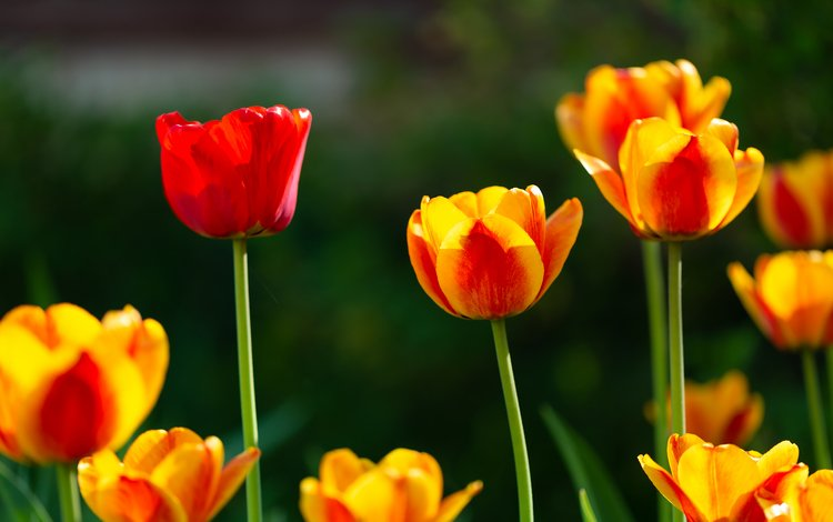 flowers, spring, tulips, yellow-red
