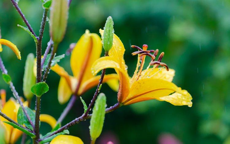 цветы, природа, лето, дождь, лилии, капли дождя, flowers, nature, summer, rain, lily, raindrops