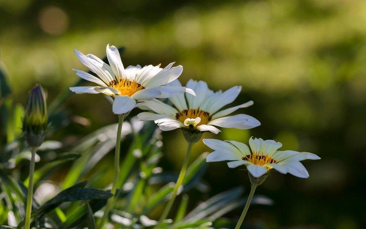 flowers, nature, summer, white, bokeh, gazania