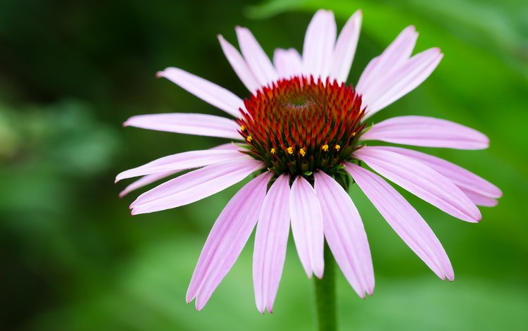 flowers, nature, macro, summer, closeup, echinacea