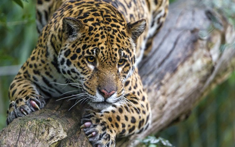 pose, looks, jump, jaguar, stay