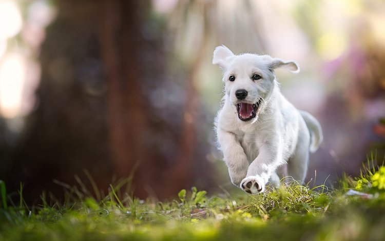 light, grass, nature, mood, rays, pose, paws, summer, white, dog, jump, puppy, baby, language, running, mouth
