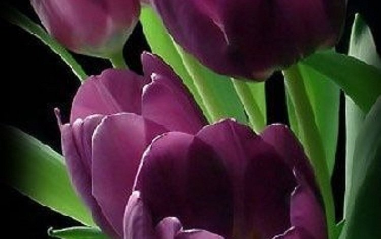 черный фон, тюльпаны, бордовый, black background, tulips, burgundy