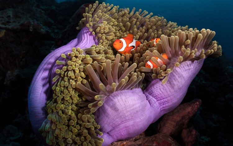 sea, fish, the ocean, under water, sea anemones, coral polyps, clown fish, amphiprion