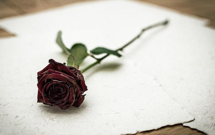 background, flower, rose, paper