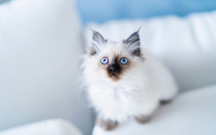 look, blue eyes, burmese