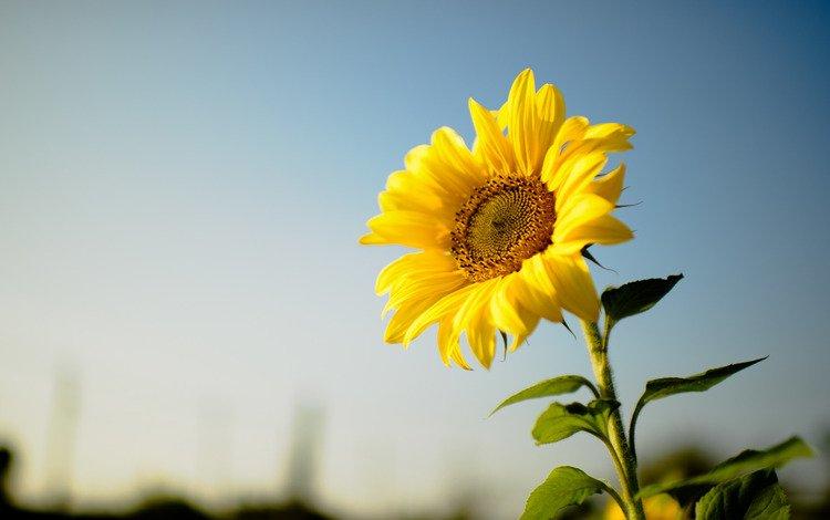 flower, sunflower, yellow petals