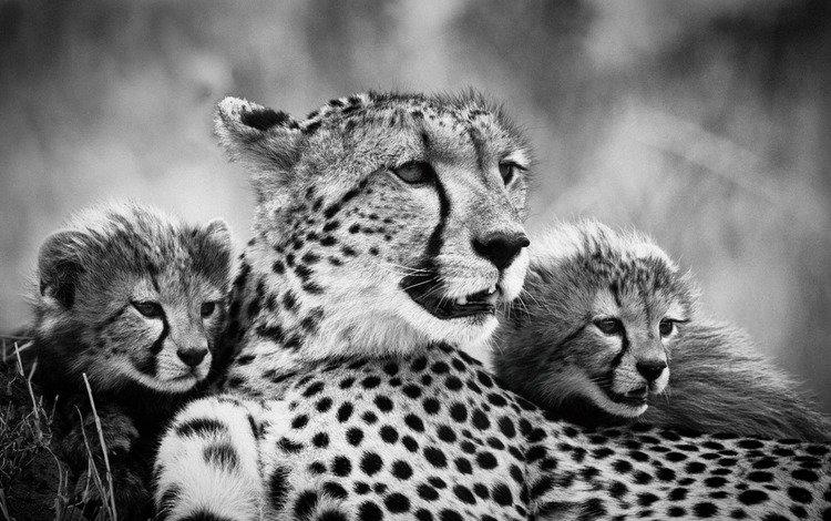 мама, гепарды, детеныши, чёрно - белое фото, mom, cheetahs, cubs, black and white photo