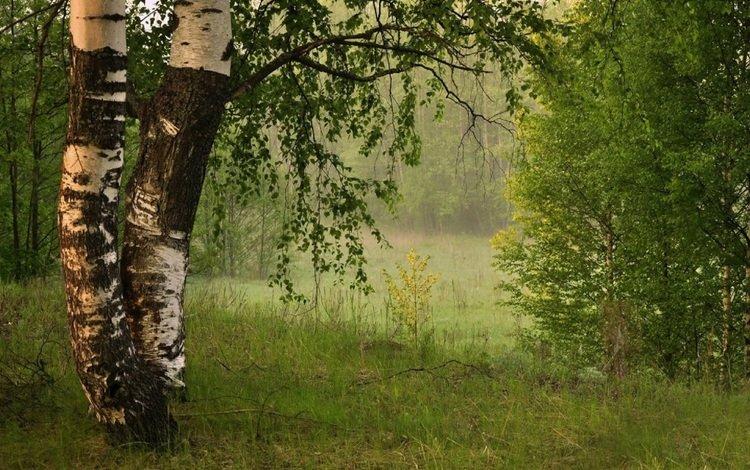 leaves, fog, birch, summer