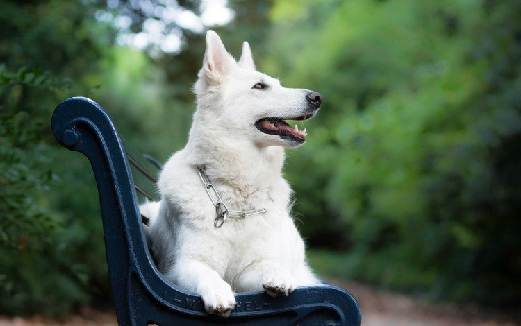 muzzle, look, dog, bench, bokeh, the white swiss shepherd dog
