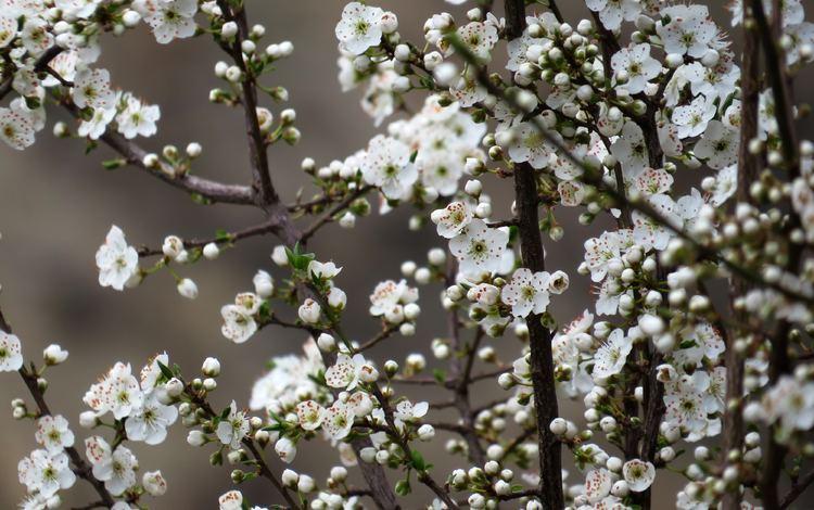 цветы, природа, дерево, цветение, весна, вишня, сакура, flowers, nature, tree, flowering, spring, cherry, sakura