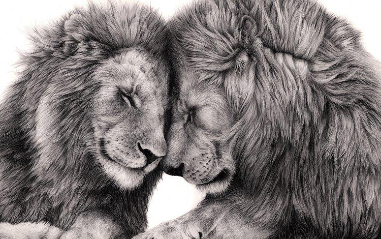 арт, хищник, большая кошка, любовь, лев, art, predator, big cat, love, leo