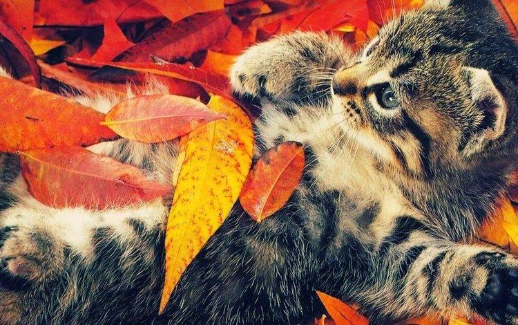 кот, кошка, котенок, осенние листья, cat, kitty, autumn leaves