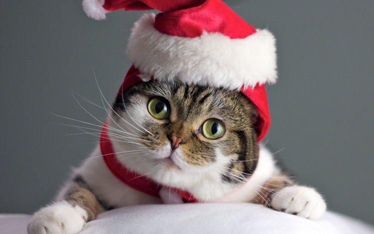 кот, мордочка, усы, кошка, взгляд, колпак, cat, muzzle, mustache, look, cap