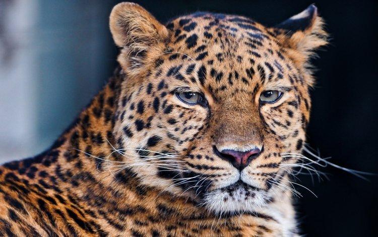 морда, усы, лежит, леопард, хищник, большая кошка, face, mustache, lies, leopard, predator, big cat
