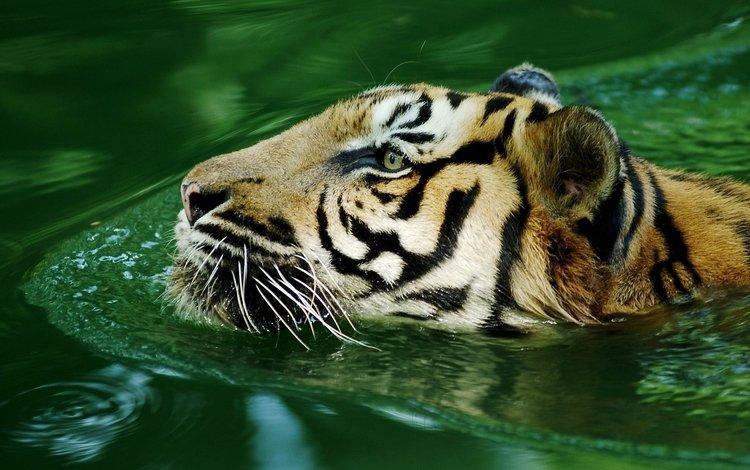 тигр, вода, хищник, большая кошка, tiger, water, predator, big cat