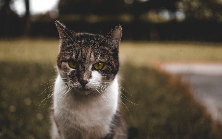 морда, кот, кошка, сидит, пятнистый, face, cat, sitting, spotted