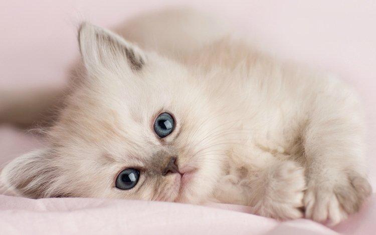 кошка, котенок, белый, лапа, cat, kitty, white, paw