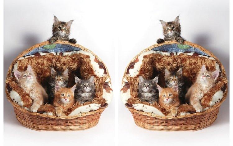 кошки, котята, корзинка, мейн-кун, cats, kittens, basket, maine coon