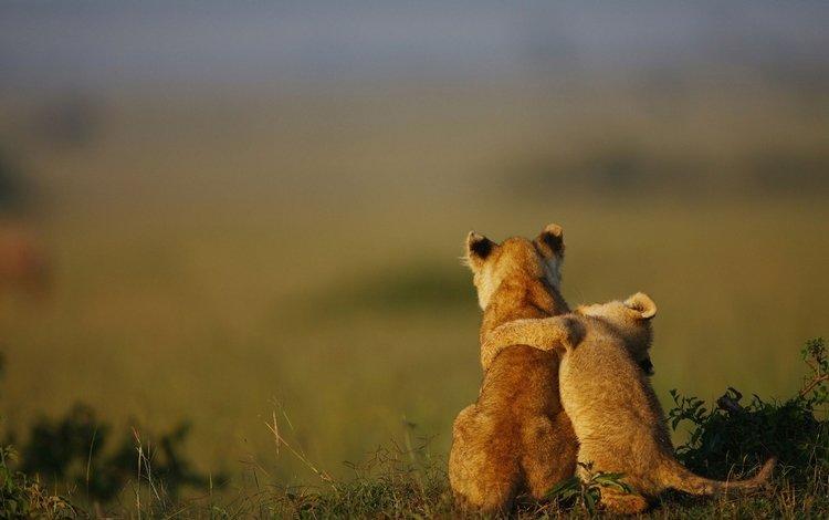 трава, природа, животные, лев, львята, детеныши, grass, nature, animals, leo, the cubs, cubs