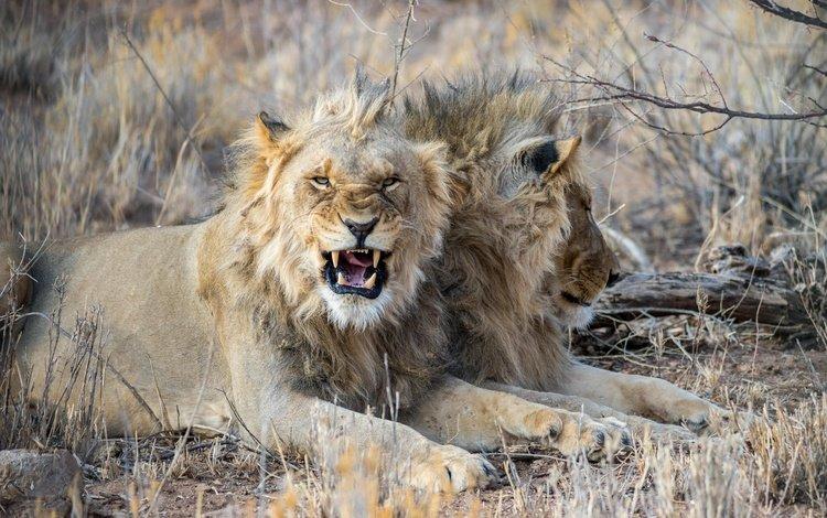 клыки, большая кошка, лев, злой, fangs, big cat, leo, evil