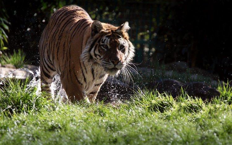 тигр, морда, трава, вода, усы, взгляд, хищник, животное, tiger, face, grass, water, mustache, look, predator, animal