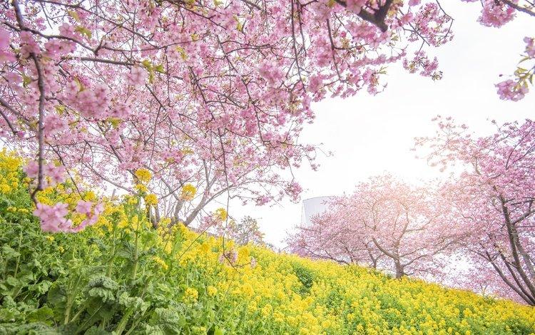 цветы, цветение, парк, весна, сакура, flowers, flowering, park, spring, sakura