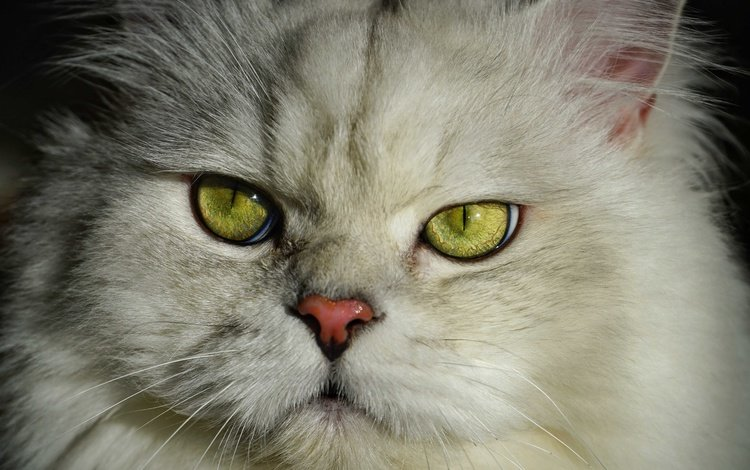 портрет, кот, кошка, пушистый, британец, portrait, cat, fluffy, british