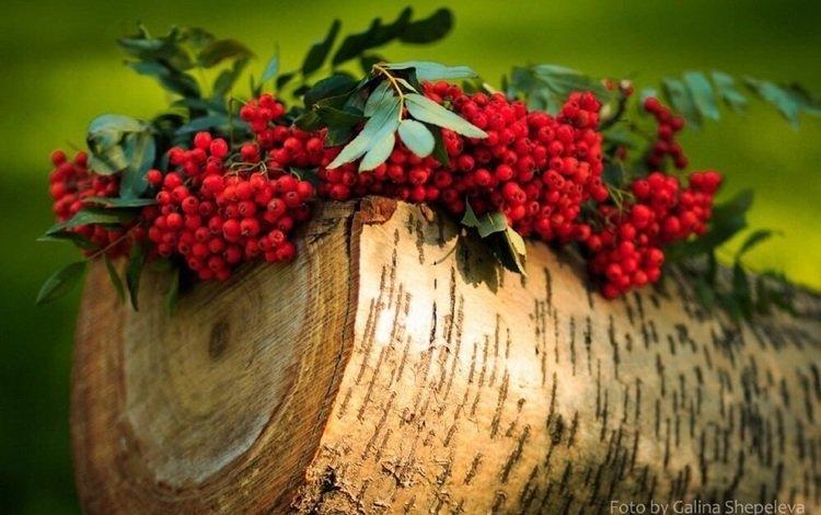 branch, red, log, rowan