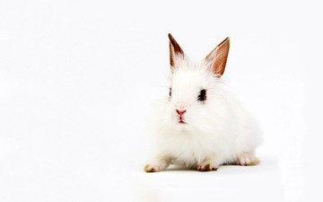 background, white, rabbit, ears