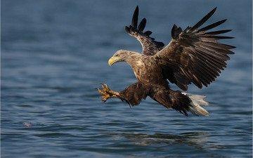 вода, полет, крылья, орел, птица, взмах