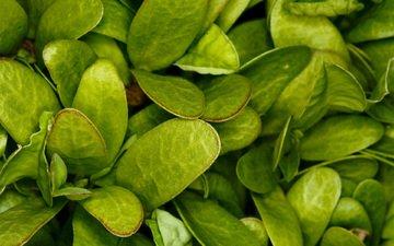 трава, зелень, макро, лист
