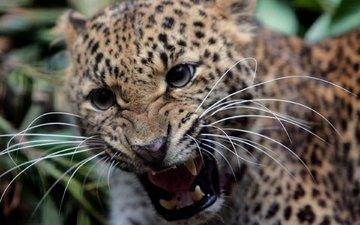 усы, леопард, клыки, оскал