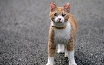 кот, мордочка, усы, кошка, взгляд, асфальт, ошейник