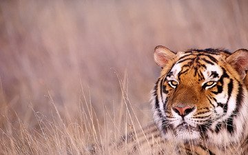 tiger, grass, look