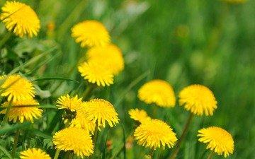 весна, цветущие, одуванчики