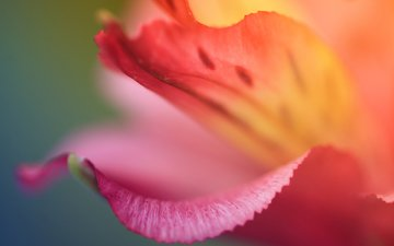 flower, color, red, petal