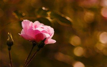 бутоны, макро, цветок, роза