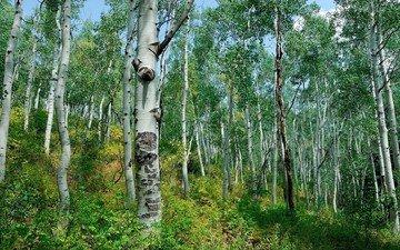 лес, березы, кусты