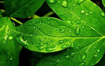 зелень, роса, капли, лист