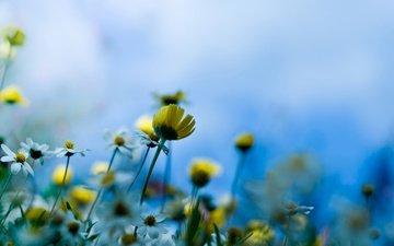 макро, стебель, полюс, romashki, nebo, луговые цветы