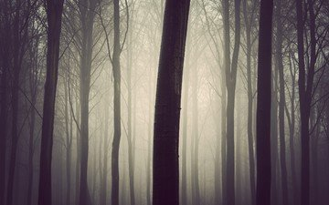 tree, forest, fog